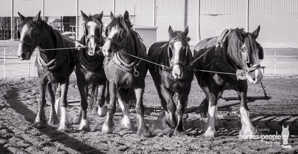 20160430 Gatton Clydesdale Heavy Horse Field Day 47